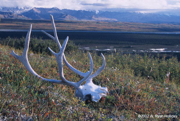 Alpine tundra caribou - photo#16