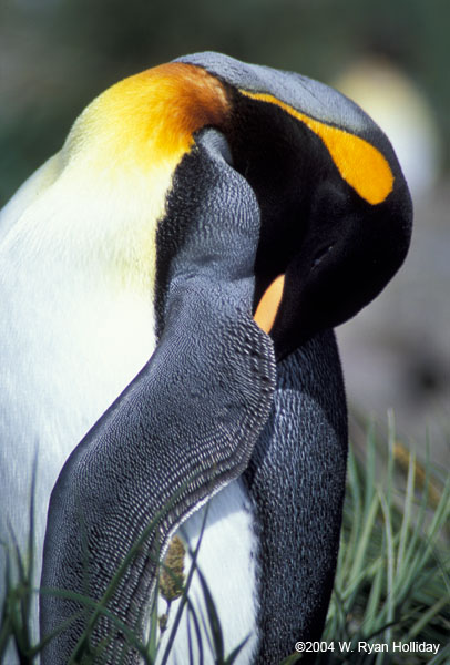 Sleeping King Penguin