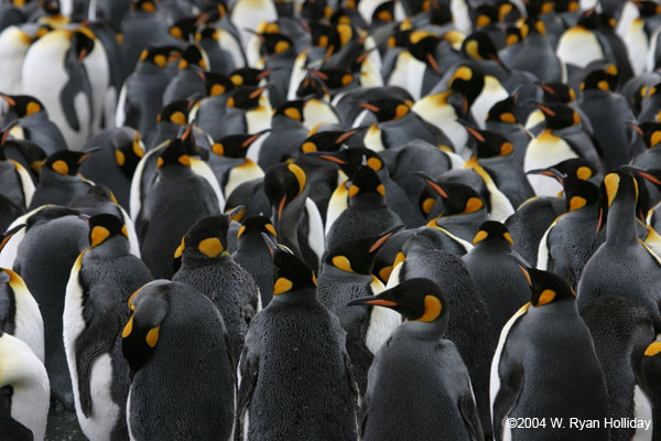 King Penguins in Gold Harbour