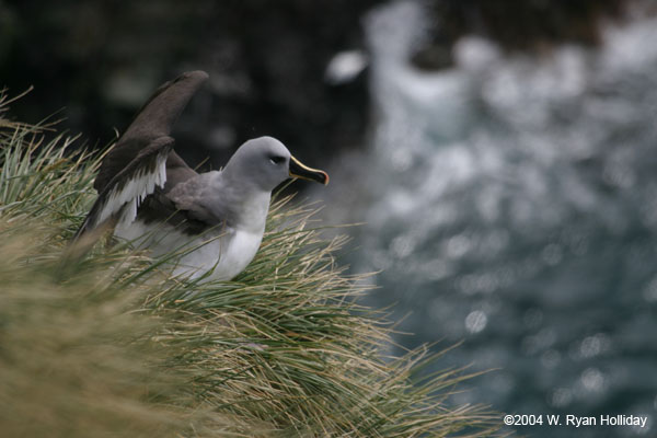Grey-headed albatross on South Georgia Island