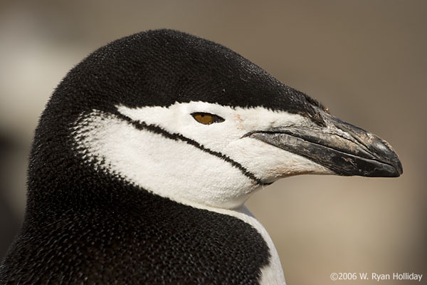 Chinstrap penguin, Bailey Head