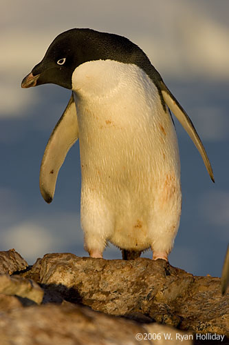 Adelie Penguin on Peterman Island