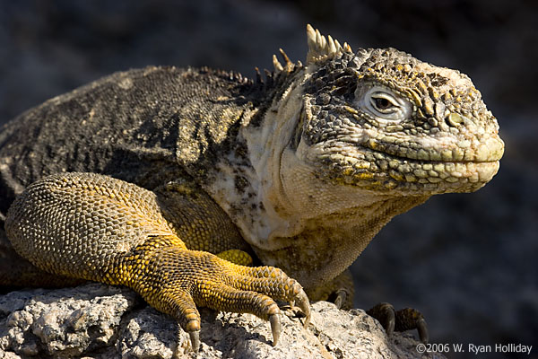 Land iguana on South Plaza Island