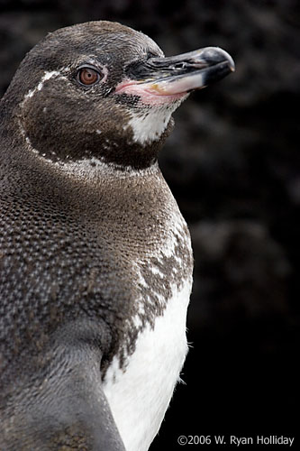 Galapagos Penguin in Elizabeth Bay