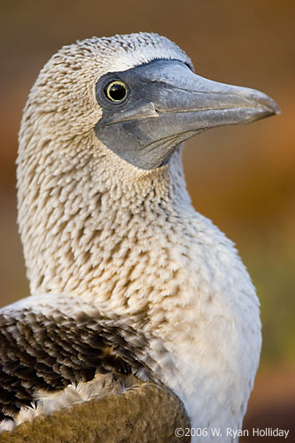 Blue-Footed Boobie on North Seymour Island