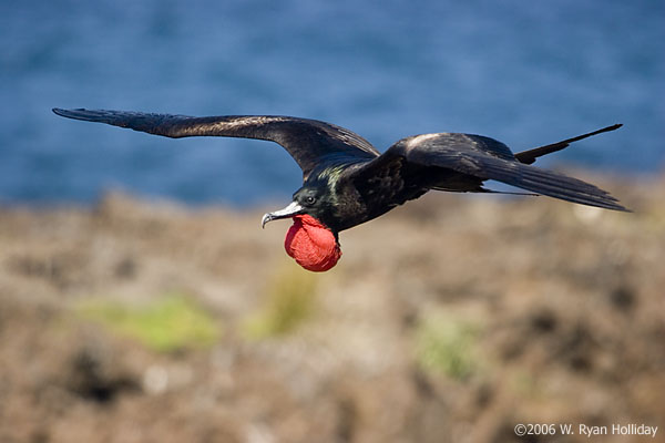 Great Frigate Bird on Genovesa Island