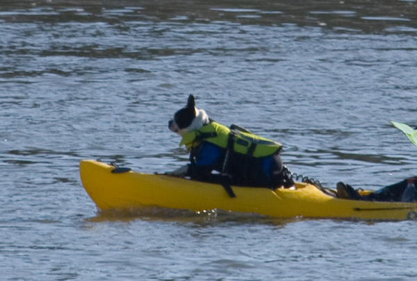 Boston terrier, in a kayak, wearing a life jacket, and a wetsuit