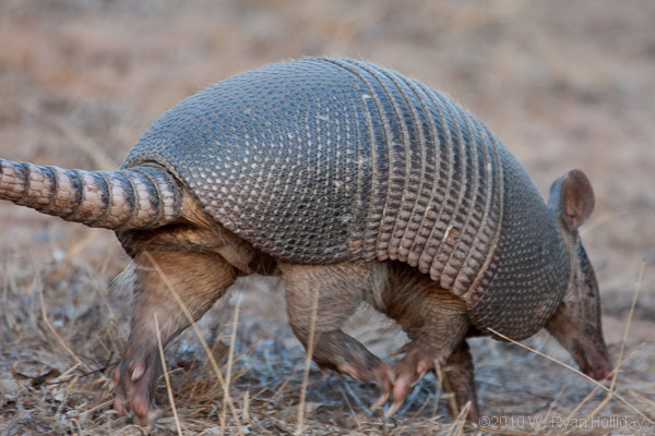 Armadillo in Salt Plains NWR