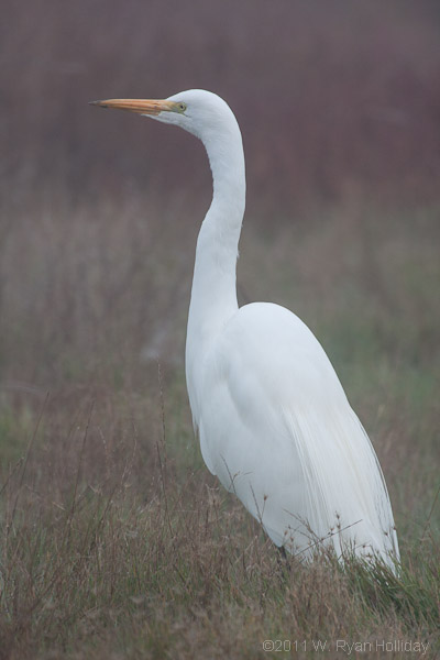 Great egret, San Pablo Bay NWR