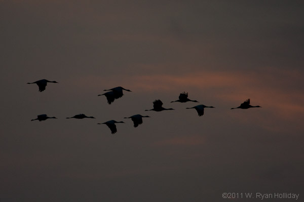 Sandhill Cranes, Pixley National Wildlife Refuge