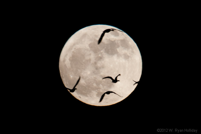 White-fronted geese and the full moon