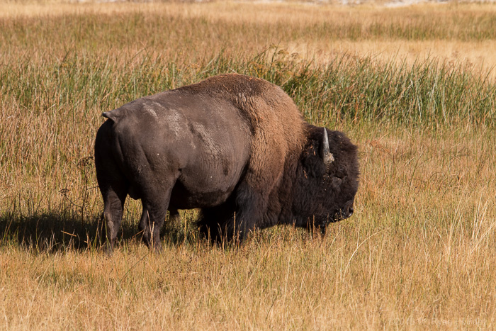 Bison in Upper Geyser Basin