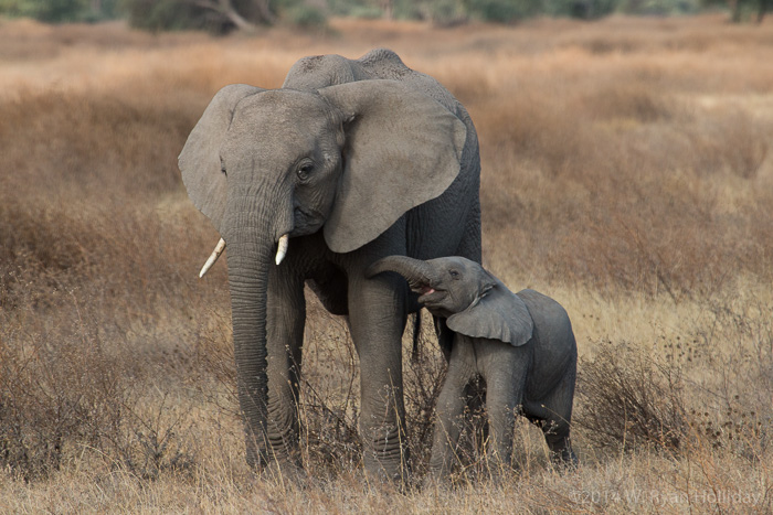African elephants at Ndutu