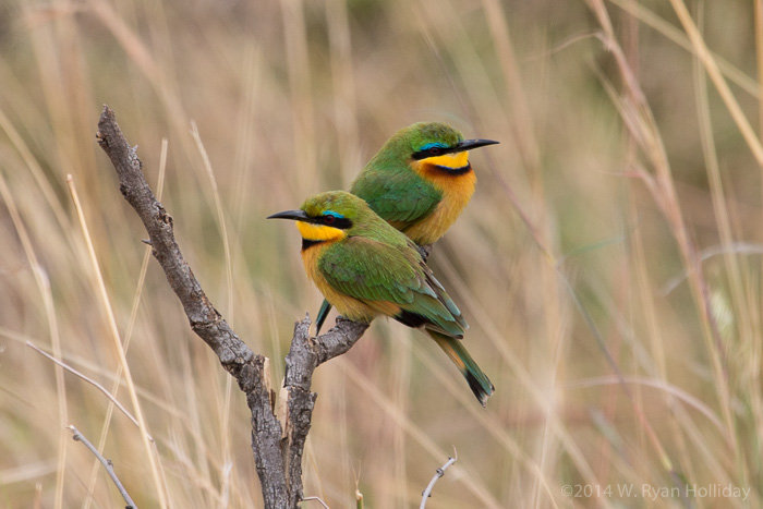 Little bee-eaters in Serengeti National Park