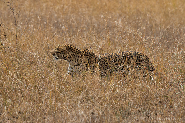 Leopard in Serengeti National Park