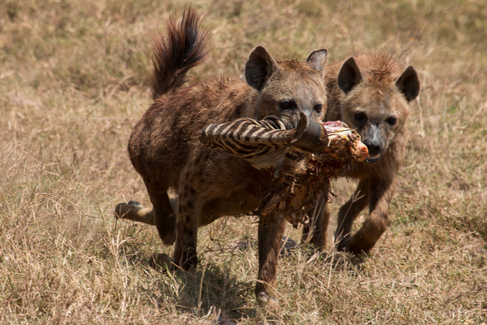 Hyenas after a zebra kill in Ngorongoro Crater