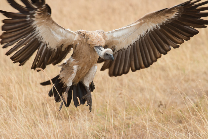 White-backed vulture in Ngorongoro Crater