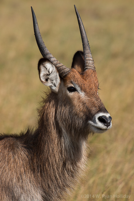 Waterbuck in Masai Mara Game Reserve