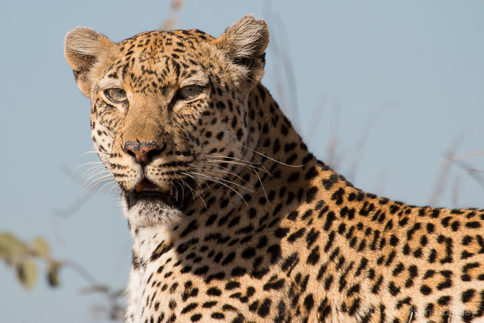 Leopard in the Timbavati Nature Reserve
