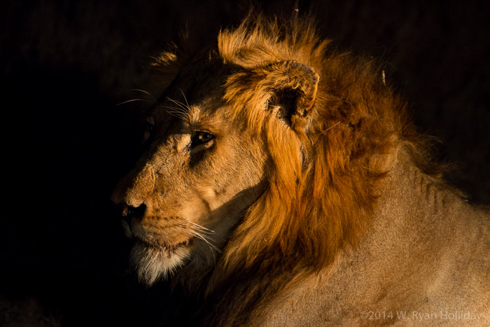 Lion in Timbavati Game Reserve