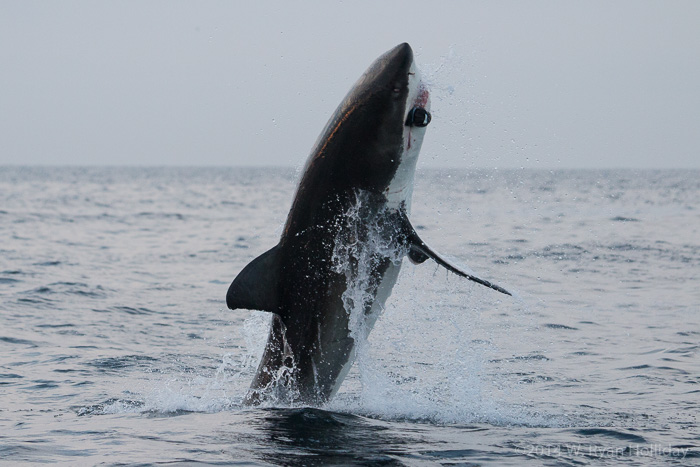 Great white shark in False Bay