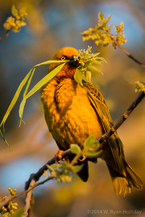 Cape weaver in Bontebok National Park