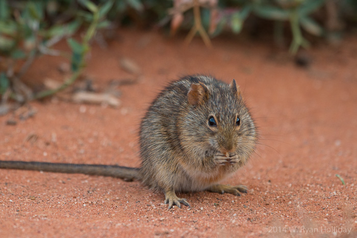 Grass mouse in Oudtshoorn