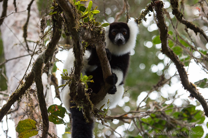 Black-and-white ruffed lemur in Mantadia National Park