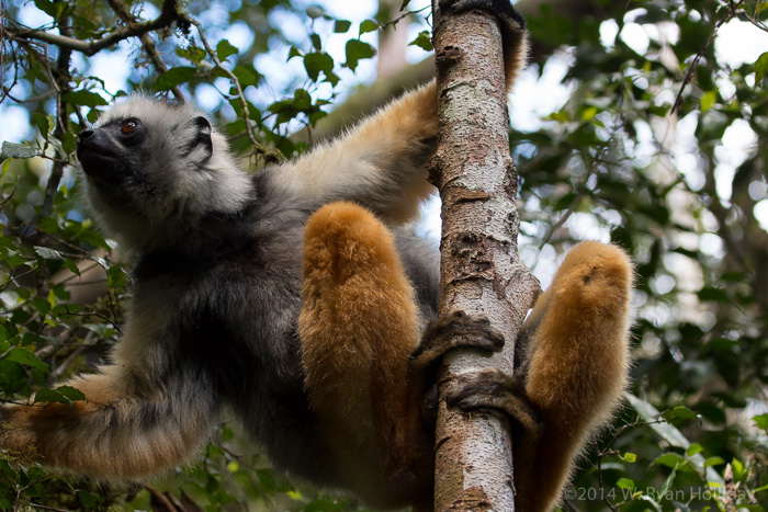 Diademed sifaka in Mantadia National Park