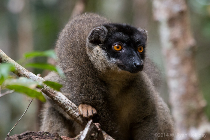 Common brown lemur in Andasibe National Park