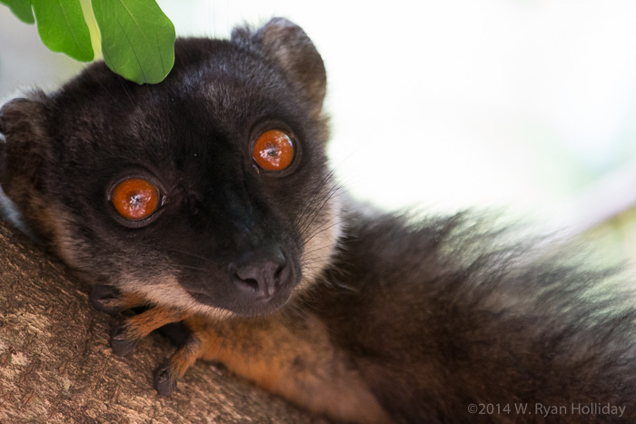 Common brown lemur in Anjajavy