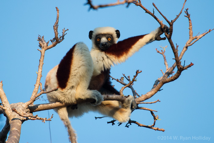 Coquerel's sifaka in Anjajavy
