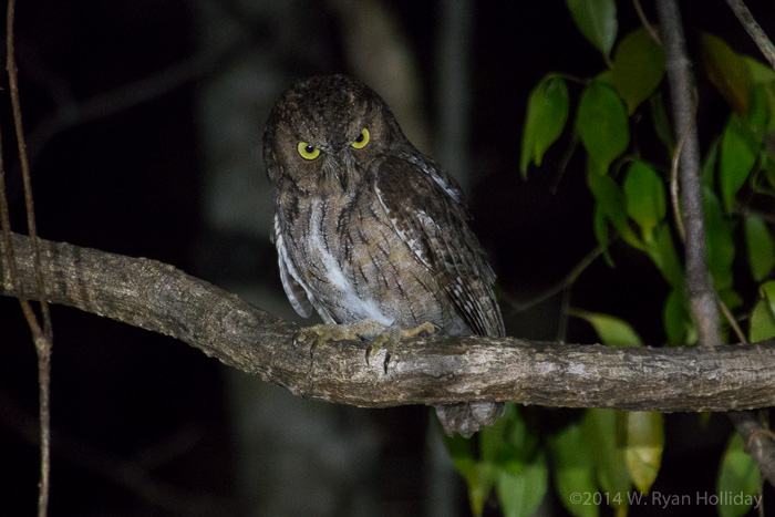 Scops owl in Anjajavy