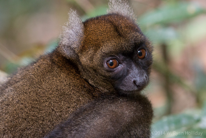 Greater bamboo lemur in Ranomafana National Park