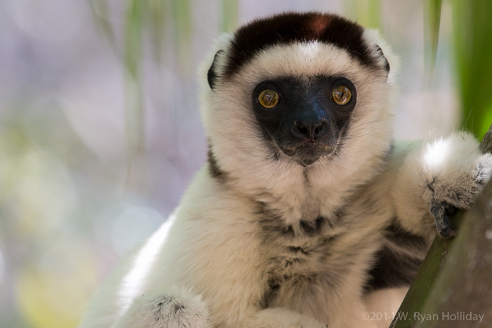 Verreaux's sifaka in Isalo National Park