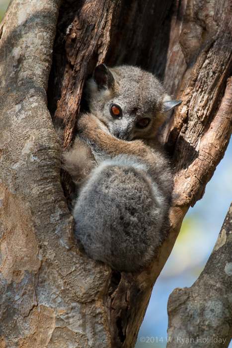 White-footed sportive lemur in Berenty