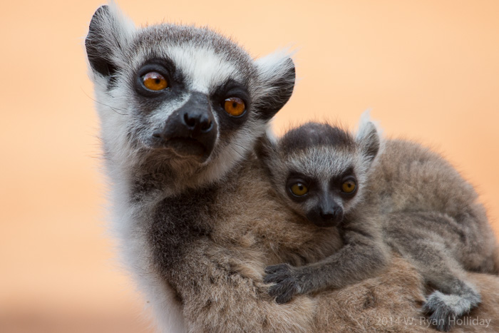 Ringtail lemurs in Berenty