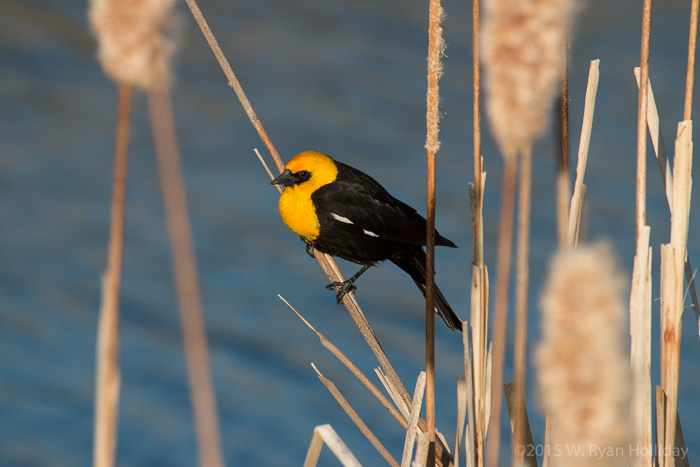 Yellow-headed blackbird in the Tule Wildlife Refuge