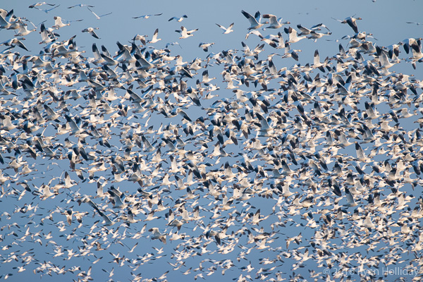 Snow geese in Merced NWR