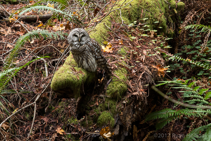 Barred owl in Muir Woods