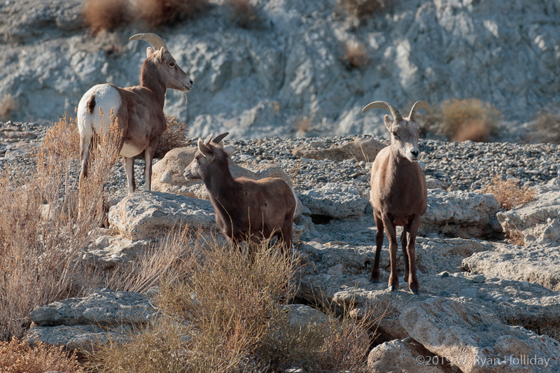 Desert Bighorn near Walker Lake, Nevada
