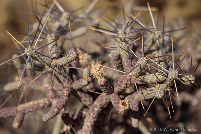 Cactus Detail, Mojave National Preserve