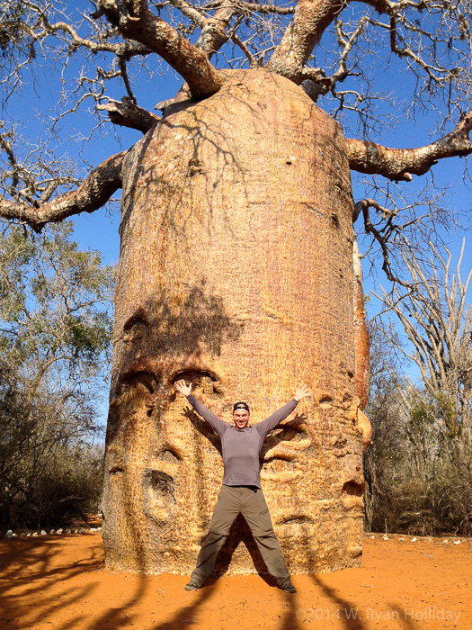 Baobab in the Reniala Forest in Ifaty