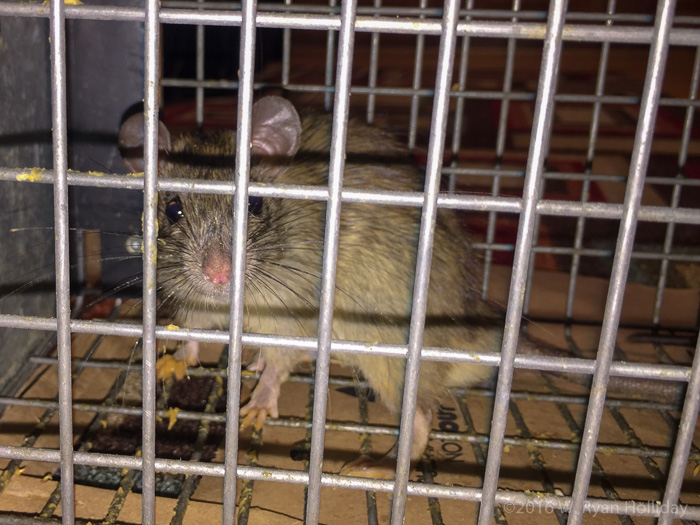 Rat Relocation Project applicant #5