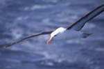 Black-Browed Albatross in Flight