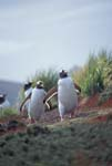 Gentoo Penguins Walking to the Colony