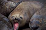 Molting Elephant Seals